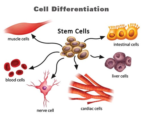 Reprogramming the fate of cells - cell differentiation