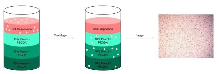 pedga cell distribution