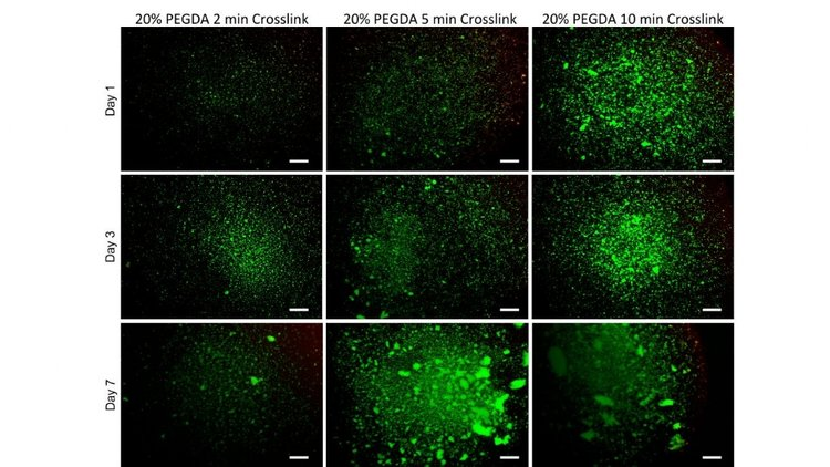 Figure 1: Live/Dead images of 20% PEGDA with 0.25% LAP crosslinked at 2,5 and 10 minutes after 1,3 and 7 days of culture. Scale bars 0.5 mm.