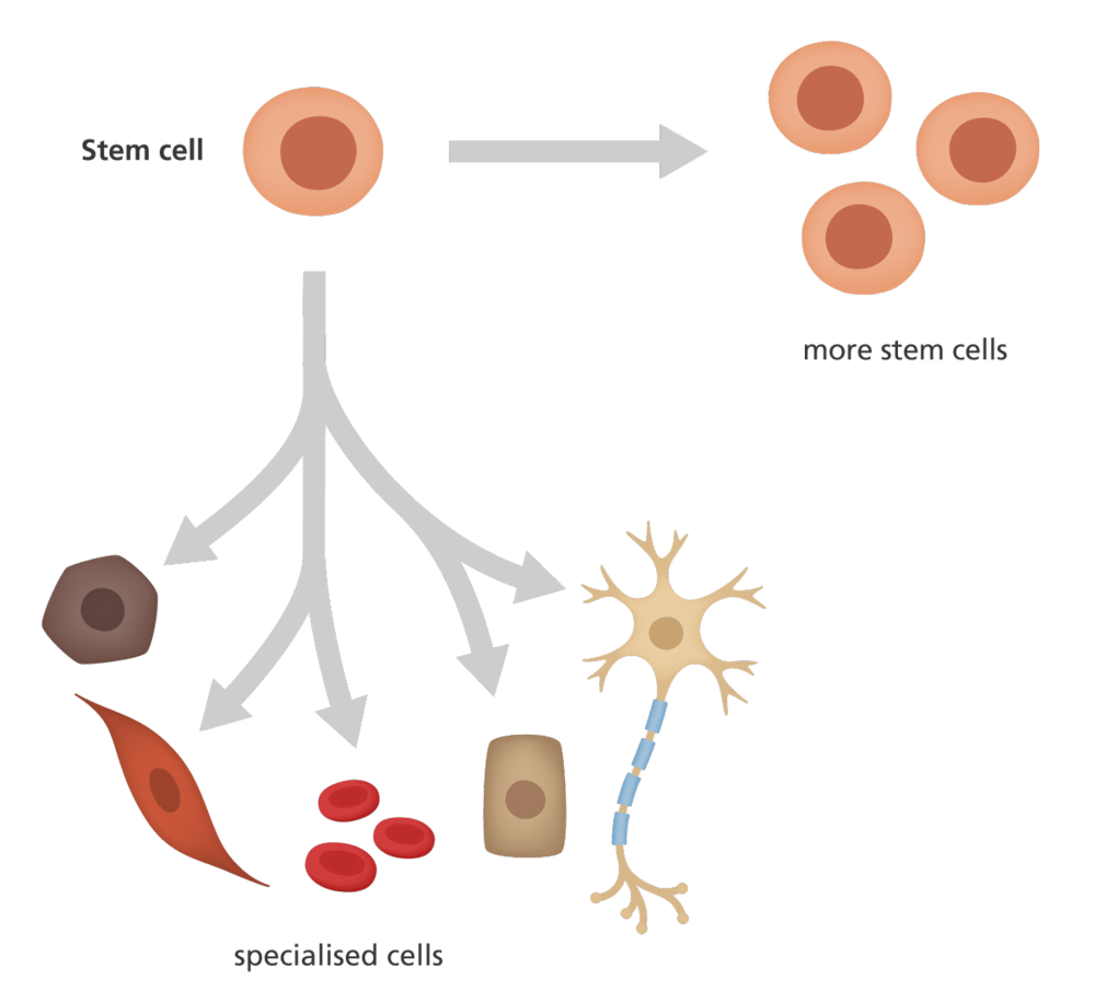 stem cells differentiation to specialised cells