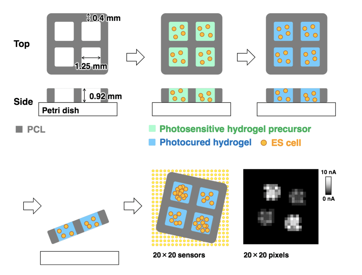 Imaging 3D Hydrogels tohoku university