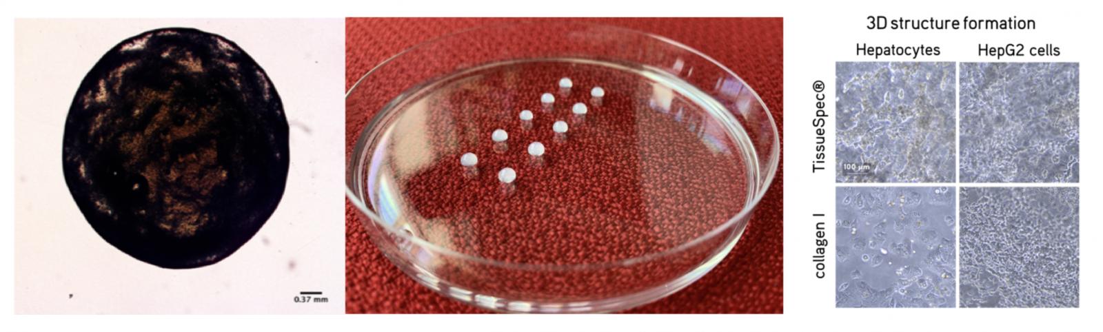 Bioprinting Liver Tissue